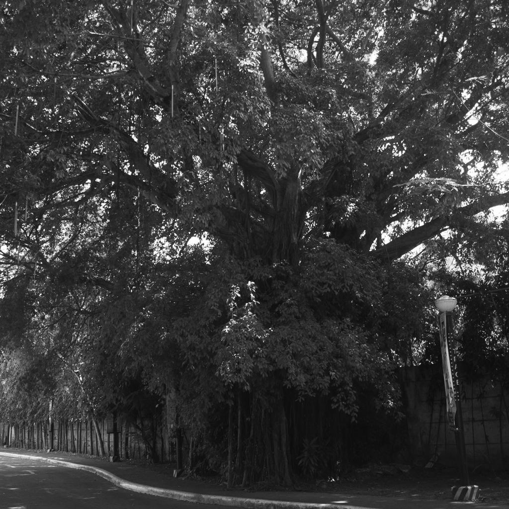 Balete trees