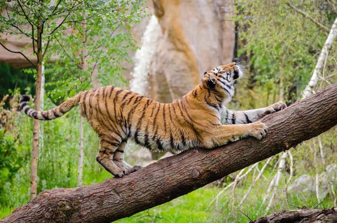 tiger sayings idioms chengyu